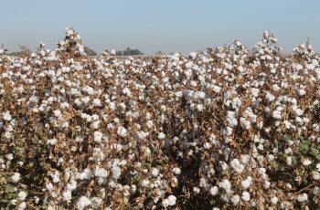 Supera cosecha algodonera una producción de 185 mil pacas