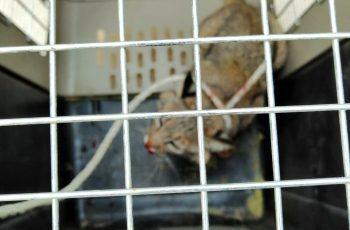Atrapan a un gato montés en San Pedro Residencial